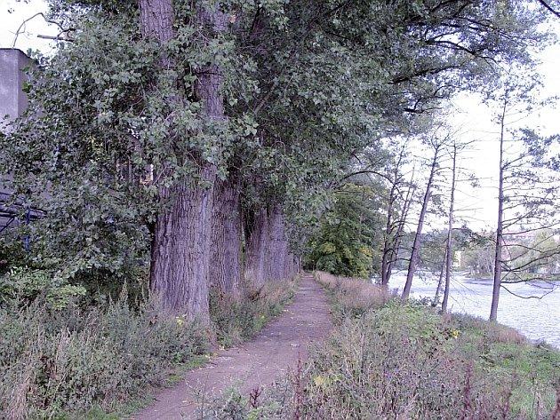 NEBEZPEČÍ. Topolová alej na břehu řeky Otavy se stářím stala procházejícím lidem nebezpečnou.
