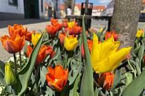 Pod stromy na Velkém náměstí rozkvetly tisíce tulipánů. Zahradníci Městských služeb Písek zasadili do všech 35 čtverců cibule žlutých tulipánů odrůdy Yokohama a oranžových tulipánů s fialovými plameny odrůdy Princess Irene. Doplňují je světlé macešky.