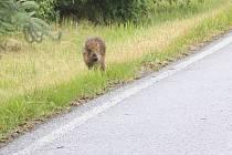 Sele divočáka na silnici.