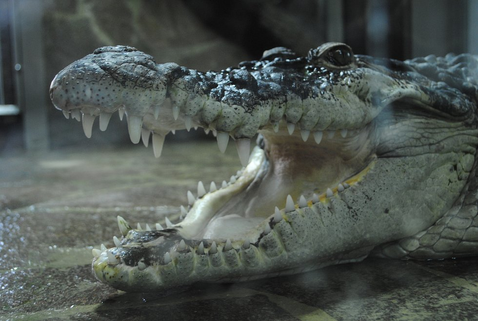 V zoo v Protivíně jsou k vidění krokodýli z celého světa i další zástupci plazí říše.