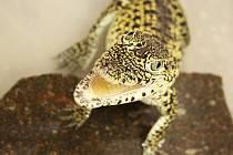 Malý krokodýl kubánský.