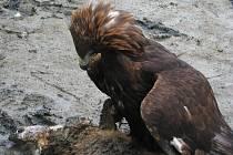 Orel skalní nad ulovenou liškou