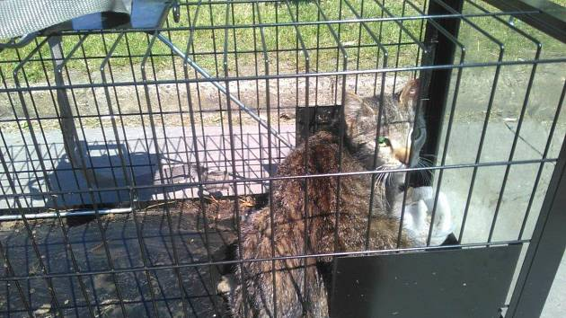 Odchyt toulavých koček. Ilustrační foto.