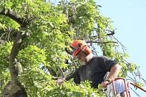 O ošetření památného stromu v Komenského ulici v Písku se postaral Vladislav Skoumal z českobudějovické  firmy Wisteria.