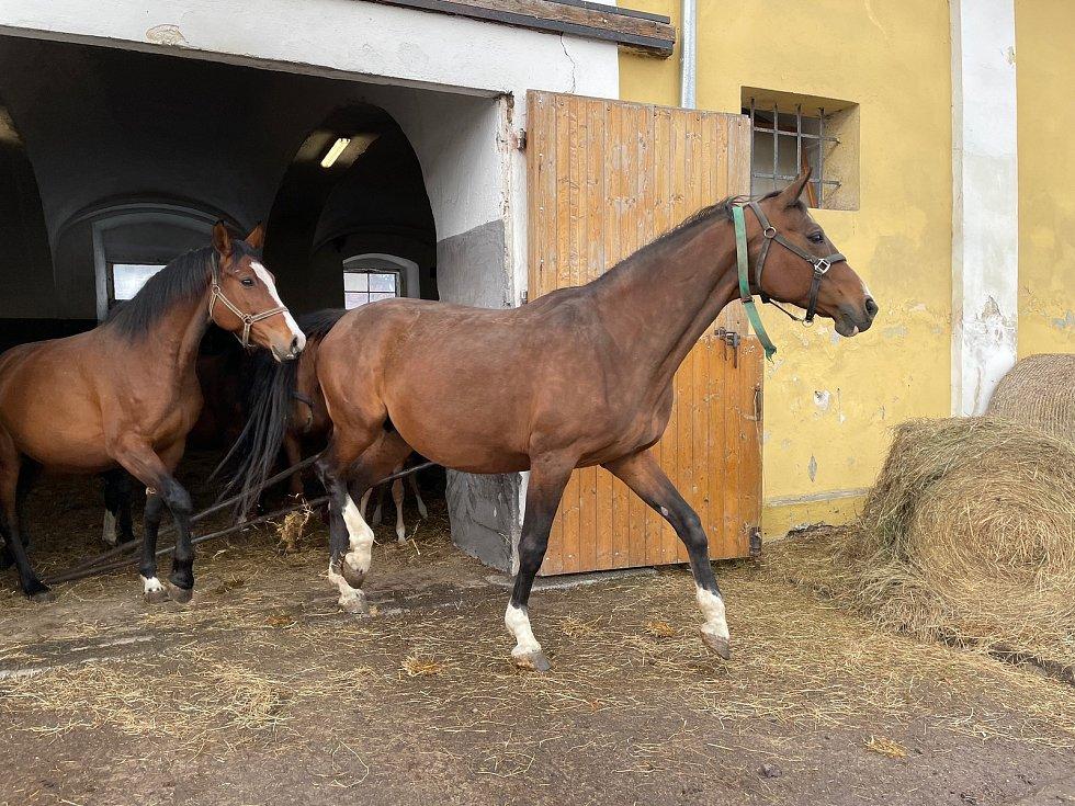 Koně vybíhají na venkovní pastviny