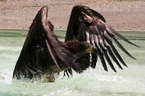 Živý orel mořský v letu.