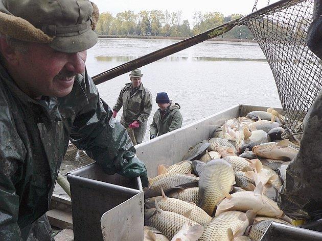 ŠUPINÁČI PRO ČECHY. Tihle putimští kapři zřejmě skončí na českém štědrovečerním talíři. Němci a Francouzi totiž dávají přednost menším rybám bez šupin a do Rakouska zase putují převážně ryby z Třeboňska.