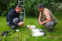 POD HNÍZDEM. Ve Žďáru se letos vylíhla dvě mláďata čápa bílého. I ona dostala kroužek