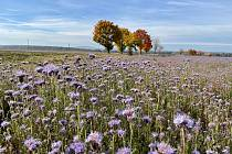 Pro podzim atypická fialová barva je k vidění na poli u Písku.