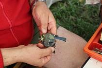 Ornitologové odchytávají ptáky do speciálních sítí.