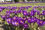 Kvetoucí krokusy vytvářejí fialové koberce