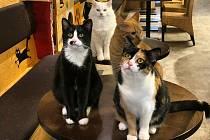"""Obsluha"" písecké kočičí kavárny."