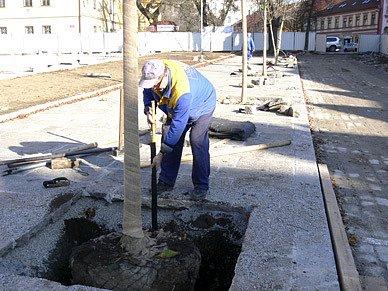 Na Bakaláře  pracovníci v minulých dnech vysázeli  kaštany, které  nahradily loni vykácené nemocné stromy.