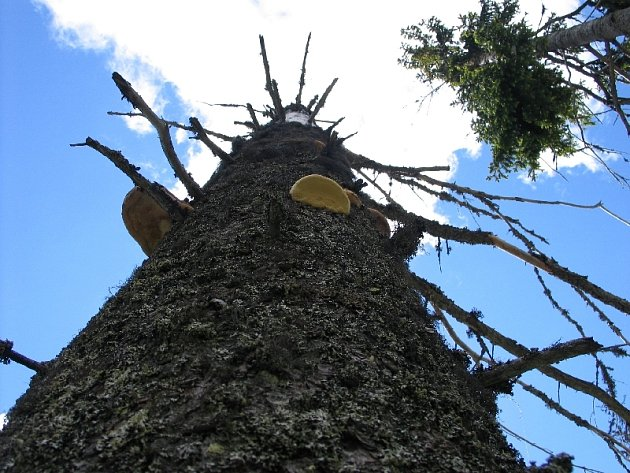 Záběr z NP Šumava. V bezzásahových zónách zůstávají kůrovcem zasažené stromy stát. V hospodářském lese ale je třeba je včas asanovat.