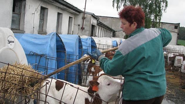 PŘI RANNÍ SMĚNĚ. Ošetřovatelka dojnic branického družstva Vlasta Bardová vyměňuje telatům  slámu.