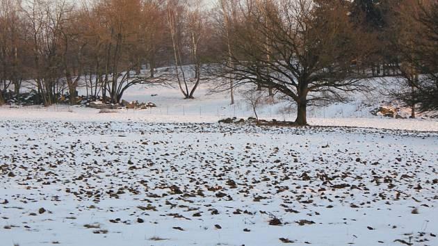 Divokými prasaty přeorané pastviny.