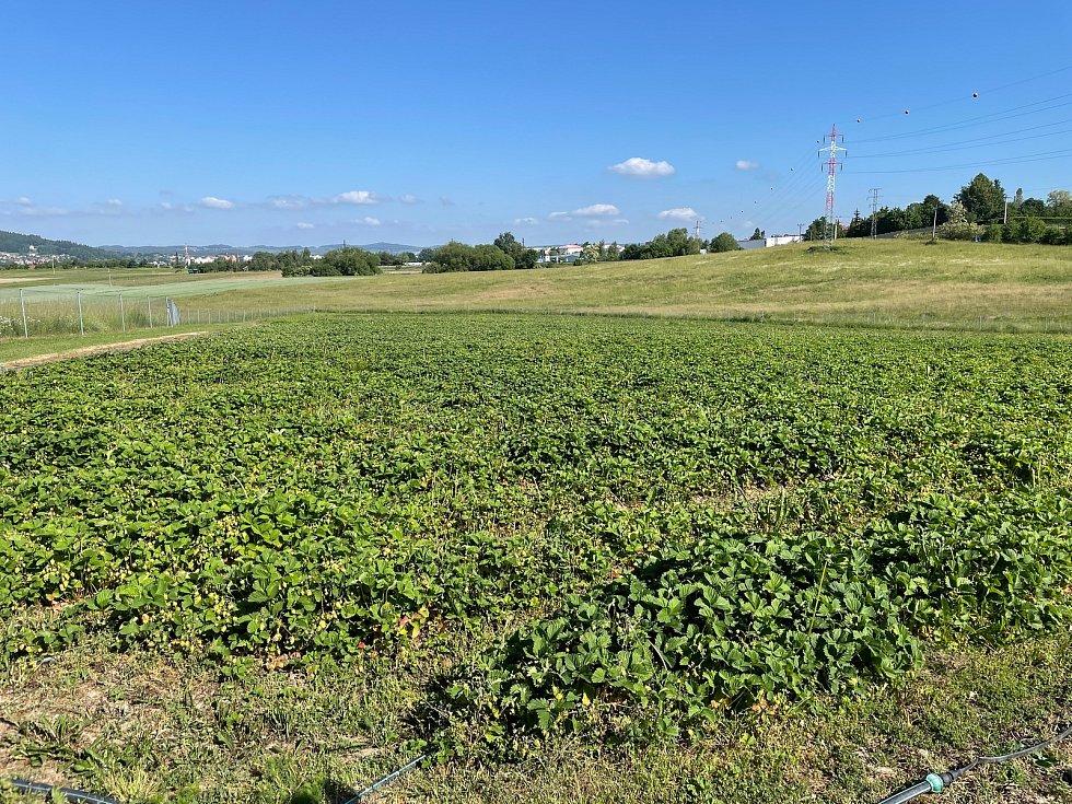 Jahody na plantážích už dozrávají.