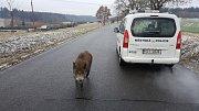 Neobvyklé přátelství divokého prasete a pitbula překvapilo strážníky.