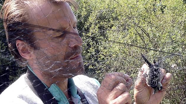 Stráček je starý lidový název strakapouda malého. Jednoho ze dvou letos odchycených exemplářů vymotává písecký ornitolog Milan Frencl, který se tábora na Řežabinci zúčastnil již  devětadvacetkrát.