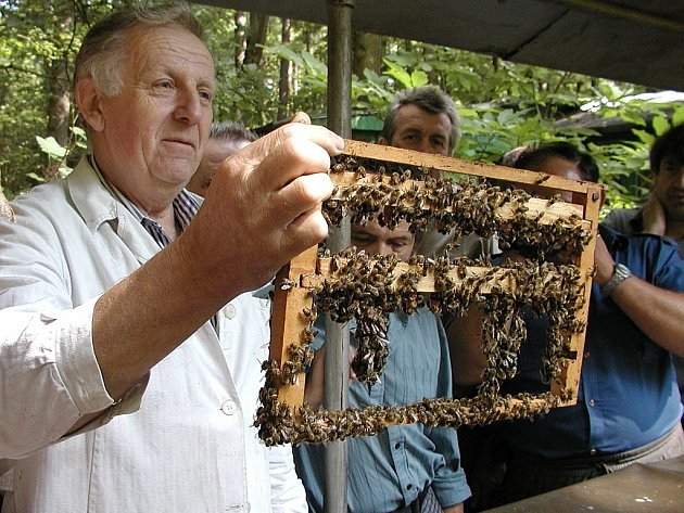 Včelař Jaroslav Havlín – respektovaný odborník.  Záběr byl pořízen během návštěvy českobudějovických včelařů na jeho chovatelské stanici ve Zlivicích. V. Havlín  ukazuje kolegům pěkně obsazené velké matečníky.