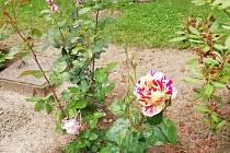Růže vykvetla v neobvyklých barvách.