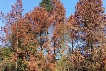 Suché borovice Na Pakšovce v Písku.