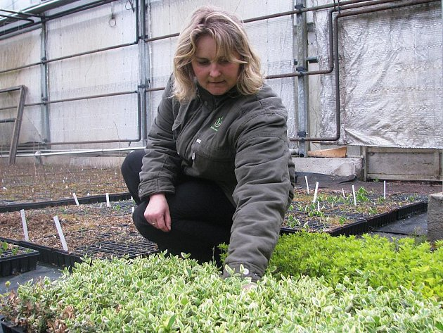 Gabriela Skaláková pracuje v  okrasné školce Forest v Olešné sedm let. Jak říká, oblíbenou rostlinu nem