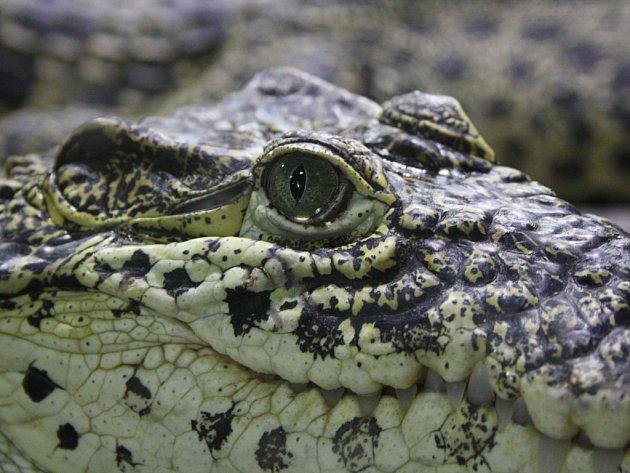 Krokodýl. Ilustrační foto.