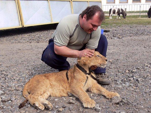 Se lvíčkem Tangem si zatím principál jen hraje, ovšem se čtyřmi dospělými berberskými lvy předvádí drezůru v přímém osobním kontaktu.