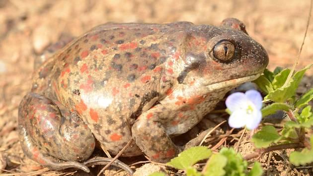 Bezpečná migrace žab. Ilustrační foto.