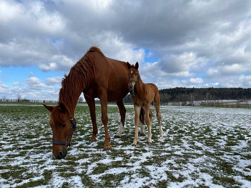 Malá klisna se svojí matkou na pastvině v Novém Dvoře
