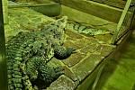 Pár krokodýlů amerických.