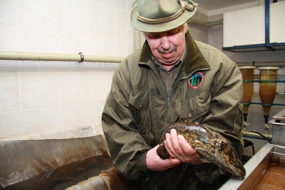 Základem budoucí populace mníka jednovousého, který pochází z rybí líhně v Borových Ladech, tvoří zhruba šest desítek generačních jedinců. I ti pocházejí právě z Borových Lad.