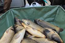 Ryba na štědrovečerním stole nebude ani letos chybět v rodinách ve Volarech a Strážném.