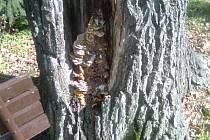 Houba napadla duby na prachatickém hřbitově v dolní části kmene. Houba tak ohrožuje stabilitu stromů.