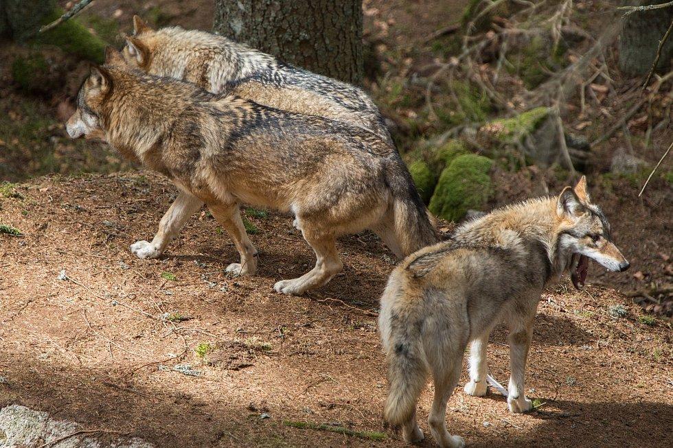 V posledních letech o nich slýcháme nepravidelně, jako o dobré zprávě pro ochranu přírody. Jejich počet ale roste a tak je třeba se začít učit s vlky trvale žít.
