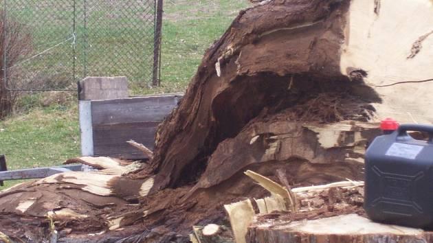 Starý akát v Putkově padl na konci března, ještě v době vegetačního klidu.
