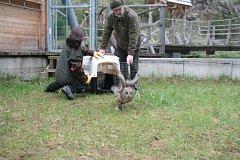 Pracovníci Stanice pro handicapovaná zvířata v Klášterci Kristýna Falková a Petr Juha převezli v úterý sovy a poštolky do sovích voliér v Borových Ladech. Ty zahájí 1. května třetí návštěvnickou sezonu.
