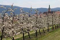 Kvetoucí třešně ve Lhenicích u Netolic. Ilustrační foto.