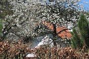 Kvetoucí třešně ve Lhenicích u Netolic.