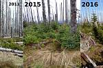 Postupná obnova lesa ve vyšších horských partiích Národního parku Šumava, jak ji sleduje Biologické centrum Akademie věd ČR. V průběhu několika málo let vyrostly z malých smrčin i několikametrové stromky.