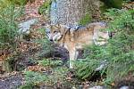 Jeden z vlků v Srní.