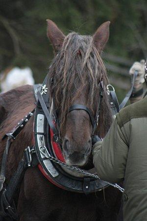 Koně jsou připravení a jde se zapřahat.