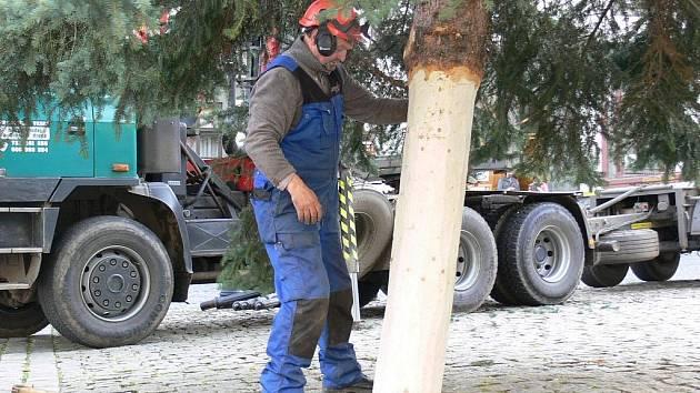 Zaměstnanci městských lesů a technických služeb spojili síly a porazili vánoční strom pro prachatické Velké náměstí.