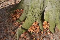 Buk ve Štěpánčině parku v Prachaticích napadla dřevokazná houba. Bude pokácen.