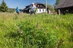 Lupina mnoholistá je invazivní druh rostliny a na Šumavu nepatří. Správa Národního parku Šumava se snaží ji systematicky likvidovat.