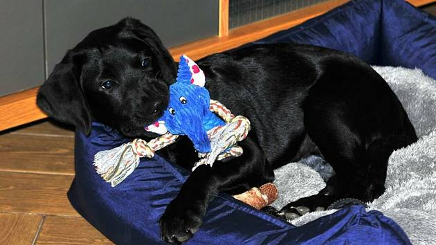 Zachráněné týrané štěně Marley z Prachatic se už léčí v domě provozovatele českobudějovického útulku Animal Rescue.