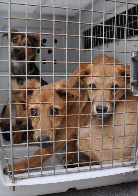 Odebraní psi putovali do Českého Krumlova, Prachatic, ale i Volar. Případ je nyní v šetření.