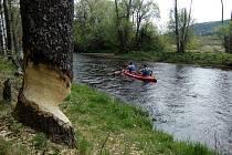 Okolí Soumarského mostu. Takhle se dokáže činit bobr. Vidět to lze ze břehu i z vody při splouvání Vltavy.