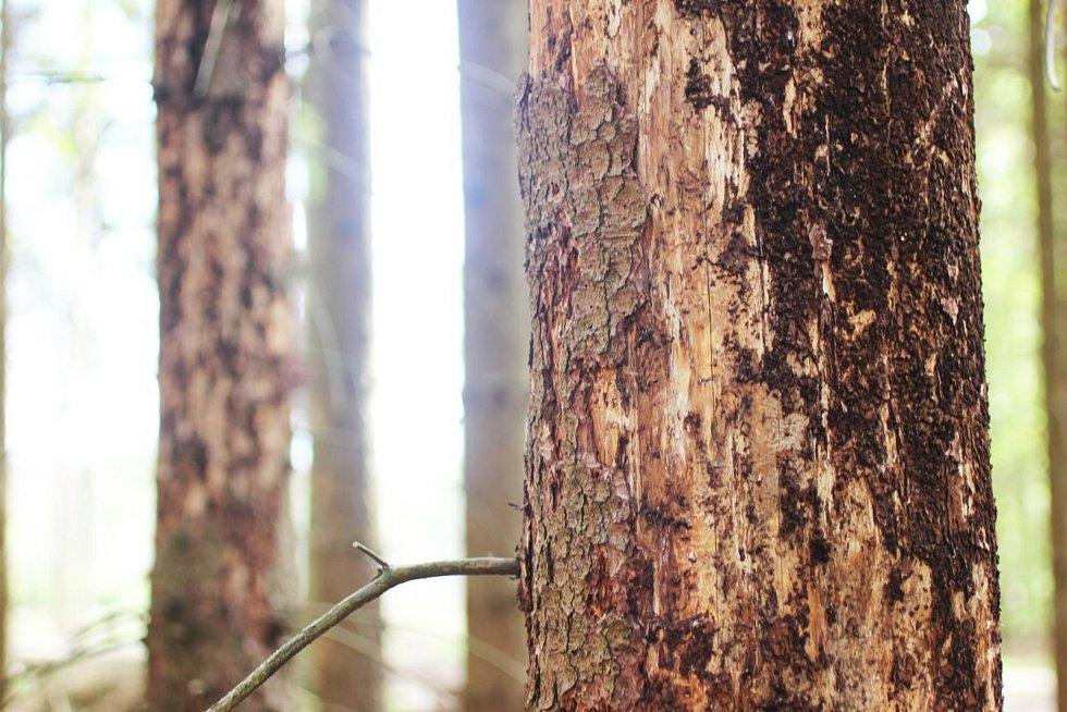 Kůrovec - lýkožrout smrkový. Ilustrační foto.